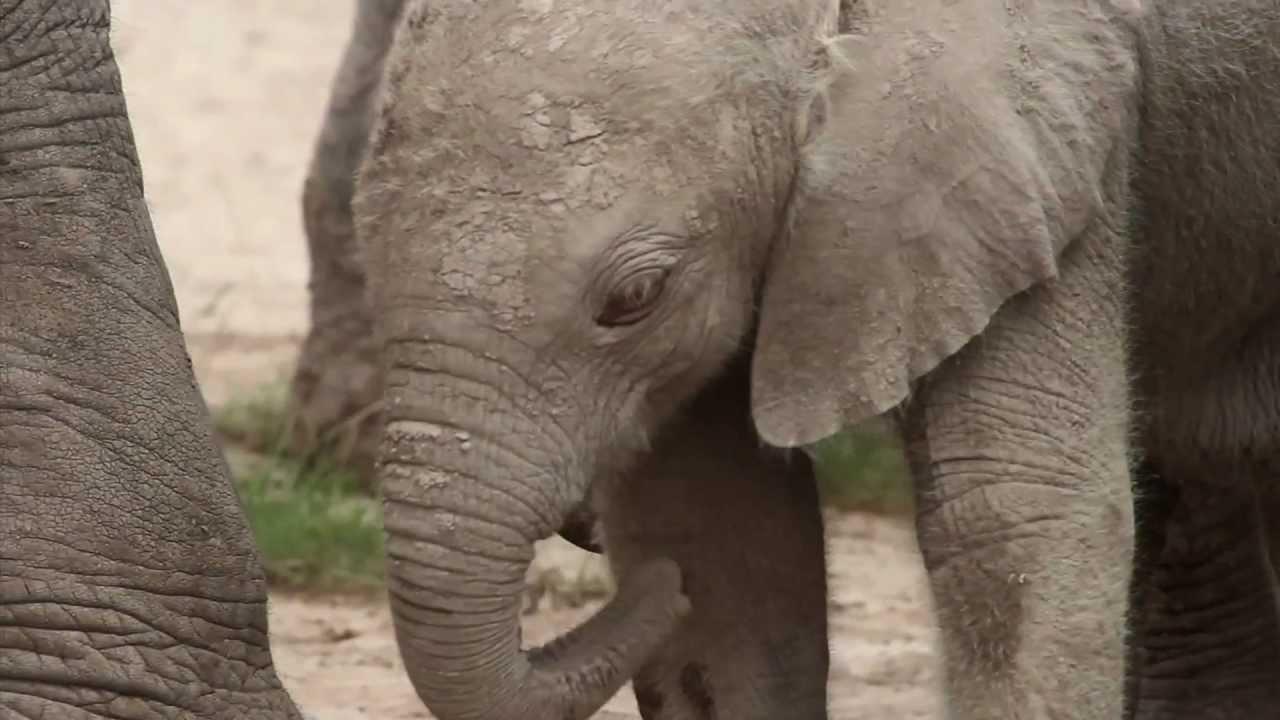 Jemima's Albino Elephant Calf - YouTube