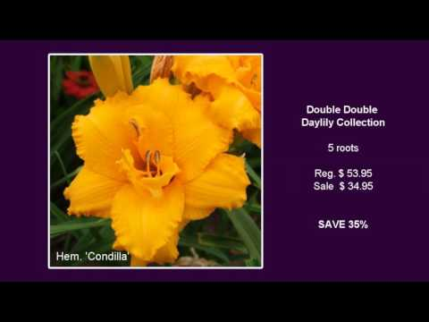 Double Double Daylily Collection