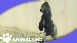 Gorilla walks like human for snack run