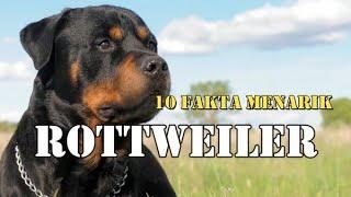 10 FAKTA MENARIK ROTTWEILER