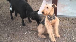 עז מעצבנת כלב