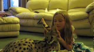 Serval Cat Playing With Kids
