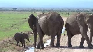 Too cute. This baby elephant is trying to cross the stream