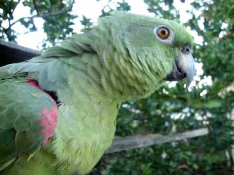 Baixar Papagaio Tagarela