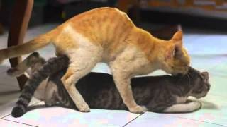 cats making love