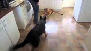 Ostavio je plišanog tigra u kuhinji. Reakcija njegovog vučjaka nasmijala je milione! (VIDEO)