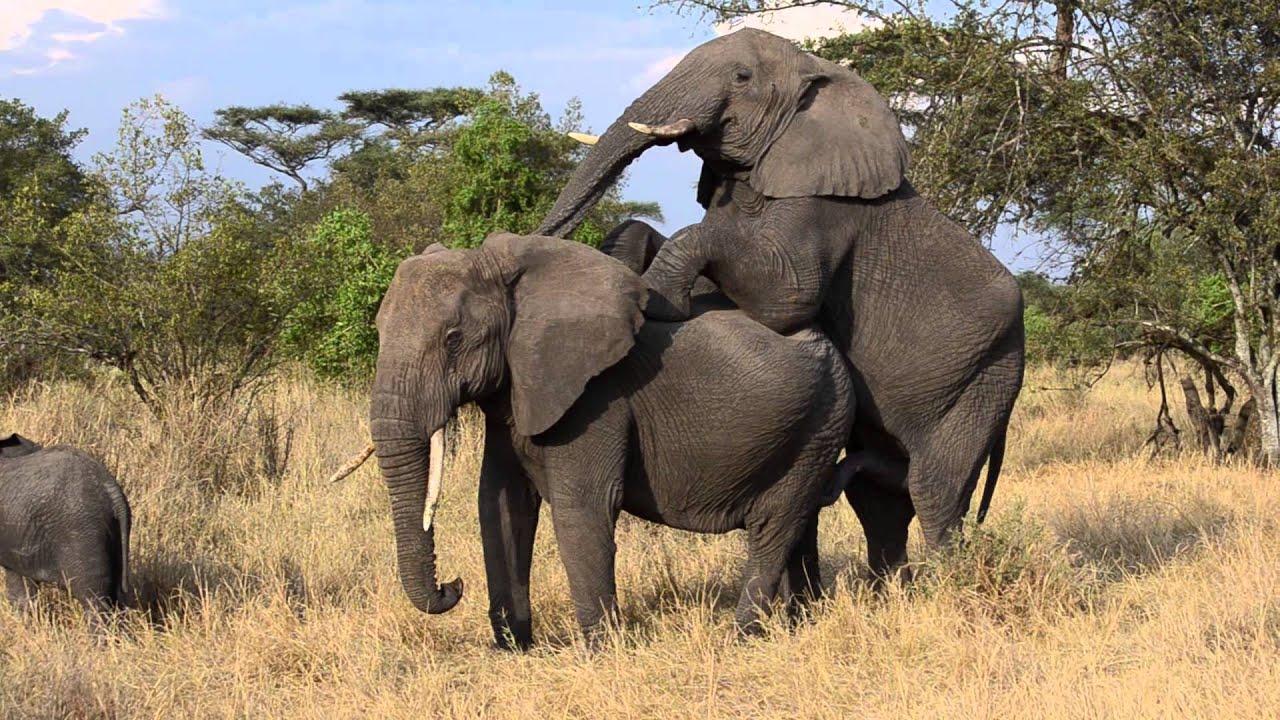 Elefanten Porn