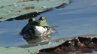 Câu ếch bằng moi giả dinh toàn ếch khủng