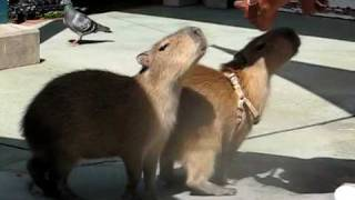 Capybara Tricks 2