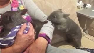 Baby wombat attack