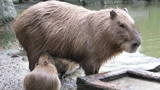 Magical Sound Mother Capybara Makes As Babies Suckleマジカルサウンド母赤ちゃんが授乳