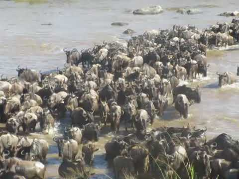 Wildebeest Migration Of Serengeti National Park