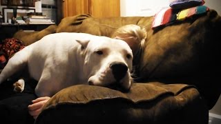 Big Dogs Thinking They're Lap Dogs 🐶 Funny Big Dogs [Funny Pets]
