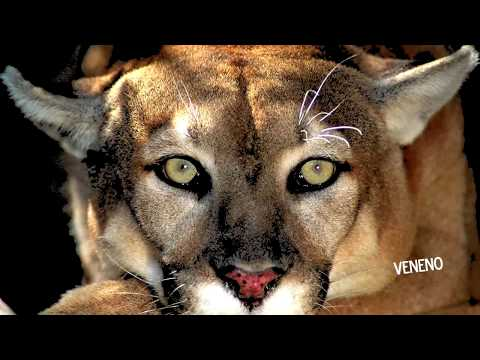 Kid Facts About Pumas