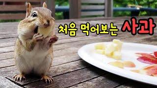 아침사과 먹으러 강아지처럼 달려오는 강다람쥐 쳐키와 시크의 여왕 제니