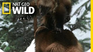 A Wolverine Showdown   Alaska's Deadliest