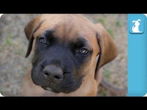 80 Seconds of Floppy English Mastiff Puppies - Puppy Love
