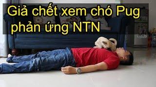 📸 Giả chết xem chó Pug phản ứng NTN - Pugk vlog - Bư mặt shit