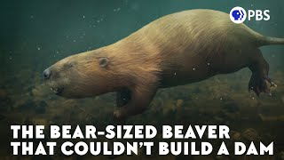 What Happened to the World's Biggest Beaver?