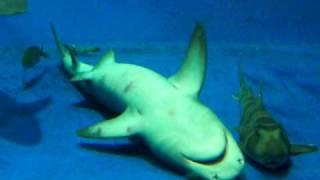 睡眠中のサメ
