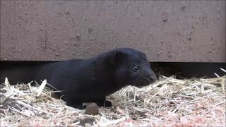 Hunting Rats with Mink and Terrier: Chicken Coop Rats