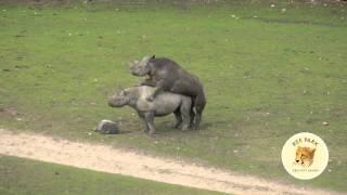 Næsehorn parrer sig for første gang