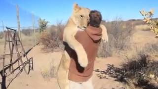 A Lion sees his friend after a long time, ran and hug him