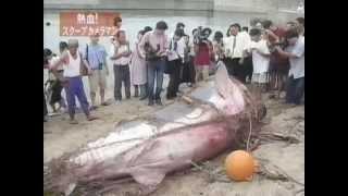 山口県光市のホオジロザメ