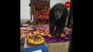 Hyderabad Zoo's Chimpanzee celebrates a special birthday..