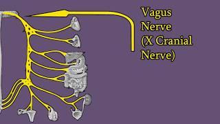 Vagus Nerve - Branches, Functions, Damage. Cranial Nerve X (CNX)