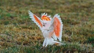 Không ngờ trên đời này lại có loài chim vừa đẹp vừa thông minh đến vậy