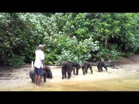 Le scimmie ringraziano il volontario