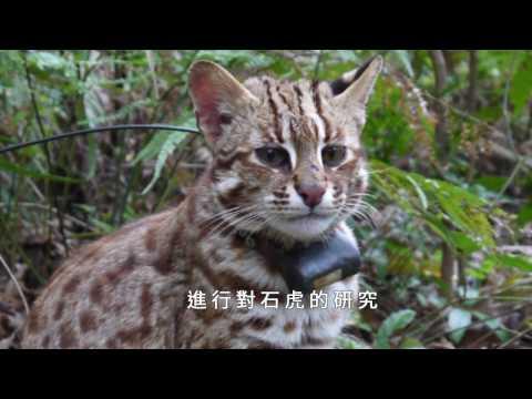 瀕臨絕種 石虎保育從觀念做起