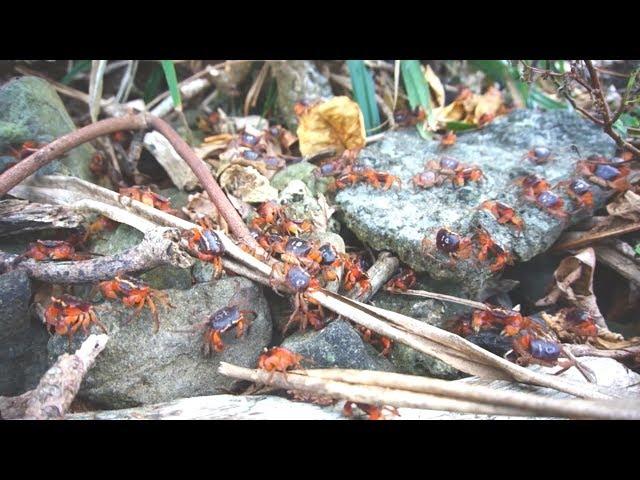 綠島遊客爆量 一晚百隻陸蟹慘遭路殺