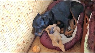 Rottweiler Dog Adopts Stray Puppy and Makes his Life Happy
