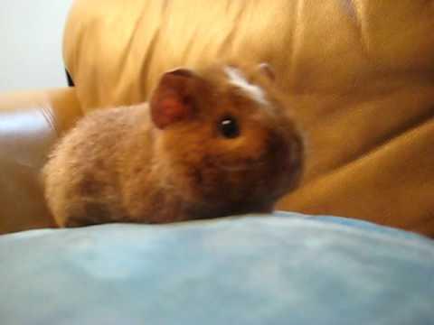 Fluffy Baby Guinea Pig - YouTube