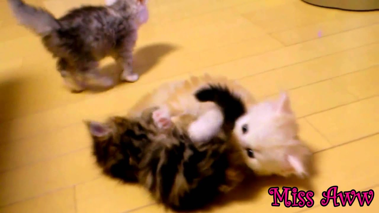 3 Cute Kittens Playing Together Too Cute Youtube