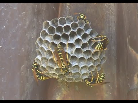 The busy paper wasp