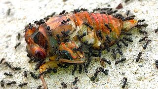 Cicadas Most Dangerous Life Death & Rescue Educational Nature Video