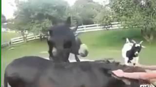 Реально смешные козы!