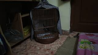 Hướng dẫn nuôi chim choè than.  Tập 5: Không nản trí