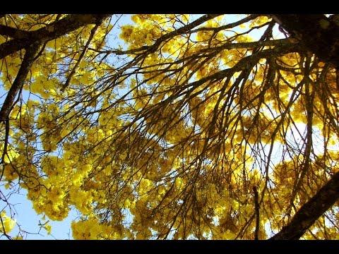 Baixar O Ipê Amarelo florido e o Canto dos Pássaros