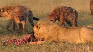 Lions vs Hyenas : A Royal Feast