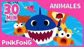 Mejores Canciones de Animales | Tiburón Bebé y +19 | +Recopilación | Pinkfong Canciones Infantiles
