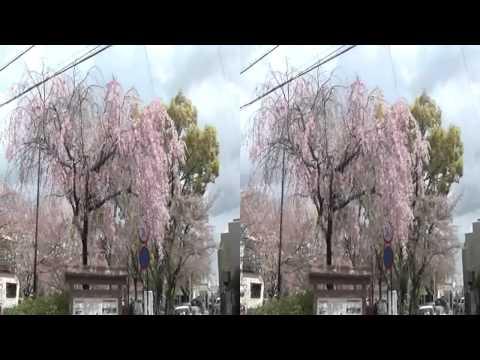 大垣の桜(yt3d)