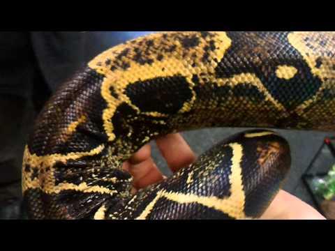Piranhaconda Real Snake Footage