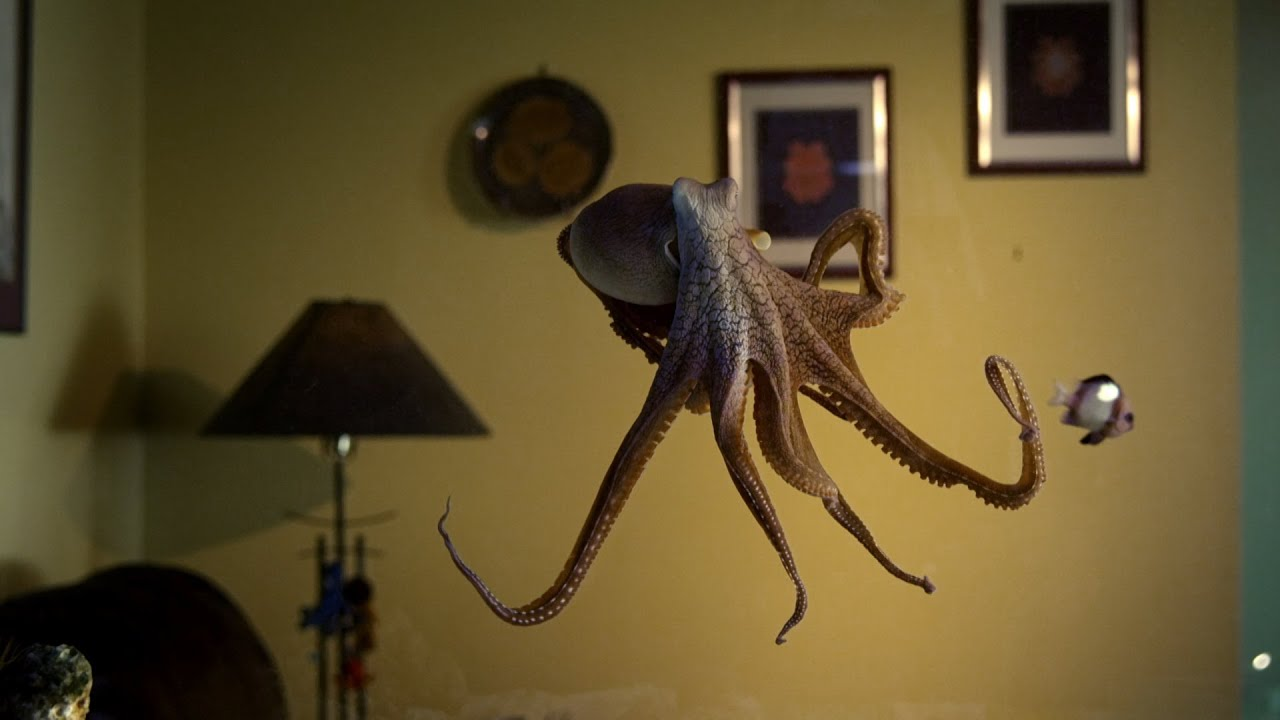 Octopus In The Living Room   Octopus In My House   BBC Earth