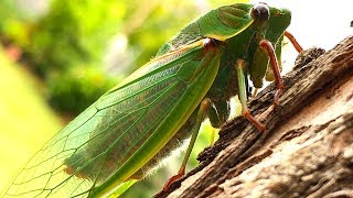 Cicada Life & Death 2 Whole Cicada Season Part 1 EDUCATIONAL VIDEO