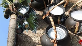 Juice of toddy palm | Palmyra palm juice natural alcohol | Cookingfood