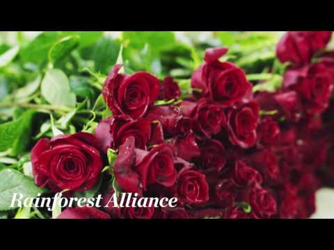 Kroger's proud tradition of producing the Kentucky Derby Garland of Roses begins at a Rainforest Alliance-certified farm.